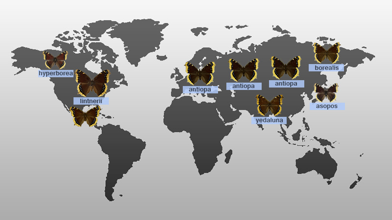 /PicturesNA/Graphics/Maps/antiopa_subspecies_map_world_large.jpg