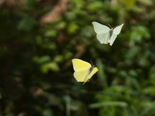 /PicturesNA/Photos/Butterflies/Daniels/Gonepteryx_rhamni_Daniels_2014_04_17_medium.jpg