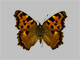 /PicturesNA/Photos/Butterflies/Daniels/ID0013_2009_10_23_polychloros_front_small.jpg