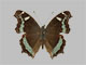 /PicturesNA/Photos/Butterflies/Daniels/ID0046_2009_10_23_canace_front_small.jpg