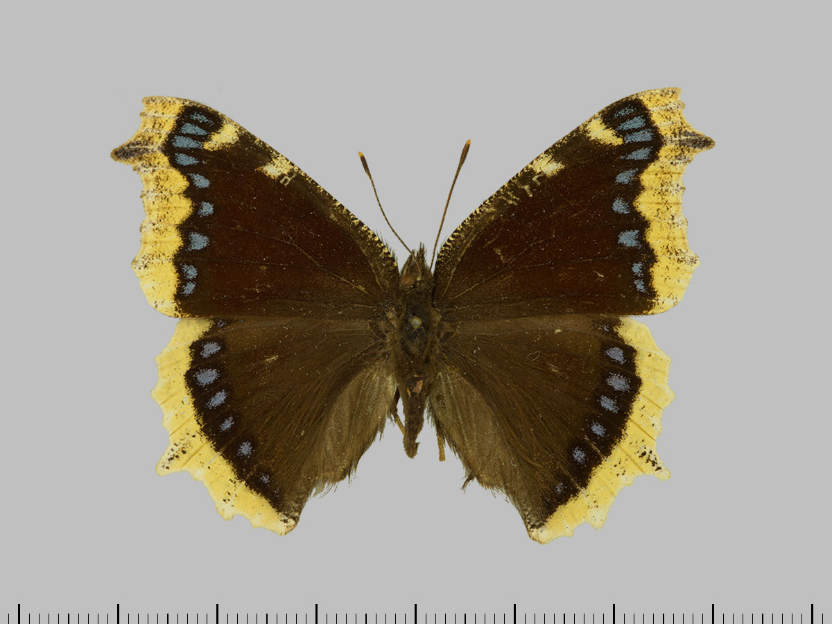 /PicturesNA/Photos/Butterflies/Daniels/ID0211_2013_10_22_antiopa_borealis_front_large.jpg