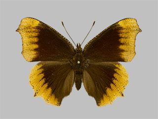 /PicturesNA/Photos/Butterflies/Daniels/ID0234_2013_10_22_antiopa_hygiaea_front_medium.jpg