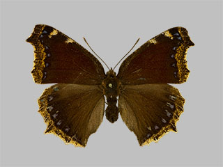 /PicturesNA/Photos/Butterflies/Daniels/ID0302_2014_01_30_antiopa_daubii_front_medium.jpg