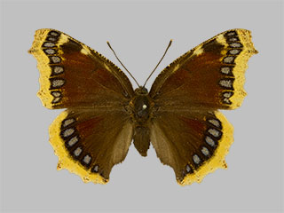 /PicturesNA/Photos/Butterflies/Daniels/ID0305_2014_01_30_antiopa_front_medium.jpg