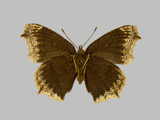 /PicturesNA/Photos/Butterflies/Daniels/ID0311_2014_01_30_antiopa_hygiaea_back_medium.jpg