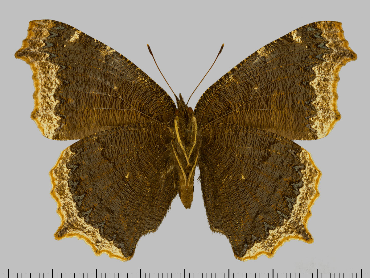 /PicturesNA/Photos/Butterflies/Daniels/ID0315_2014_01_30_antiopa_lintnerii_back_large.jpg