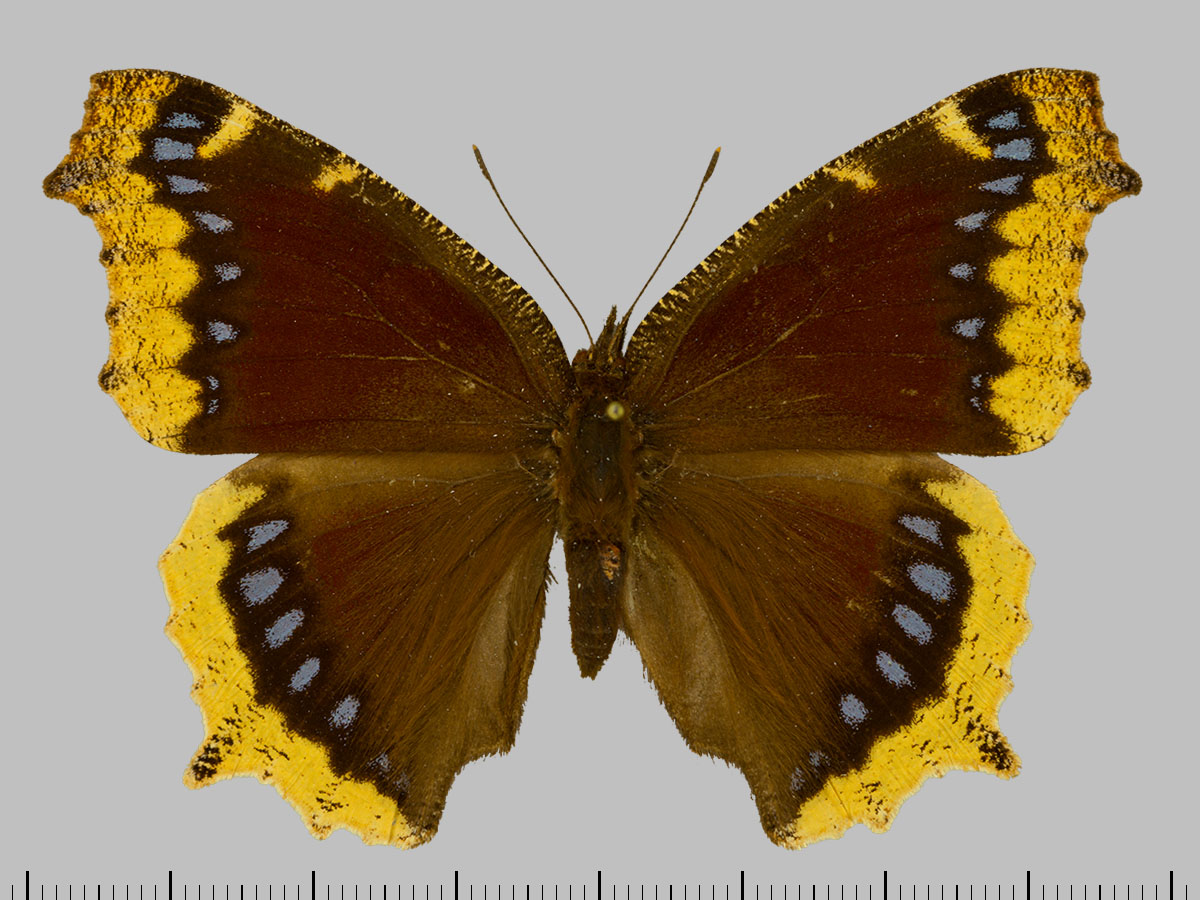 /PicturesNA/Photos/Butterflies/Daniels/ID0315_2014_01_30_antiopa_lintnerii_front_large.jpg