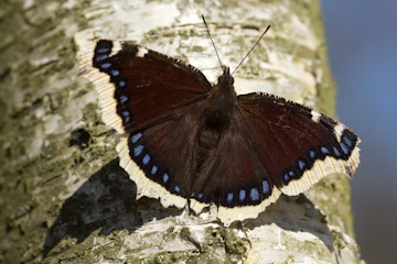 /PicturesNA/Photos/Butterflies/Daniels/Nymphalis_antiopa_Berlin_001_2012_03_22_medium.jpg