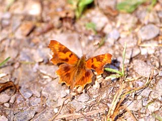 /PicturesNA/Photos/Butterflies/Daniels/Polygonia_c-album_Klotten_2005_07_12_small.jpg