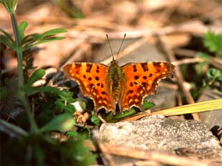 /PicturesNA/Photos/Butterflies/Daniels/polygonia_c-album_2_Oberkassel_2004_03_29.jpg