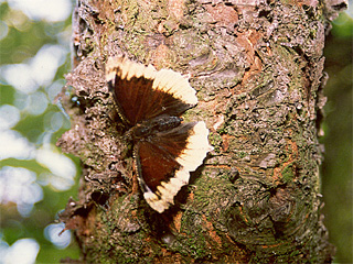 /PicturesNA/Photos/Butterflies/Hoehnel/antiopa_hygiaea_hoehnel_001_1992_medium.jpg